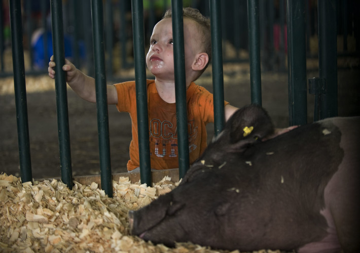 Chet Atkins, 1, of Front Royal, takes a peek at a sleeping hog at the Warren County Fair inside the livestock barn. Rich Cooley/Daily