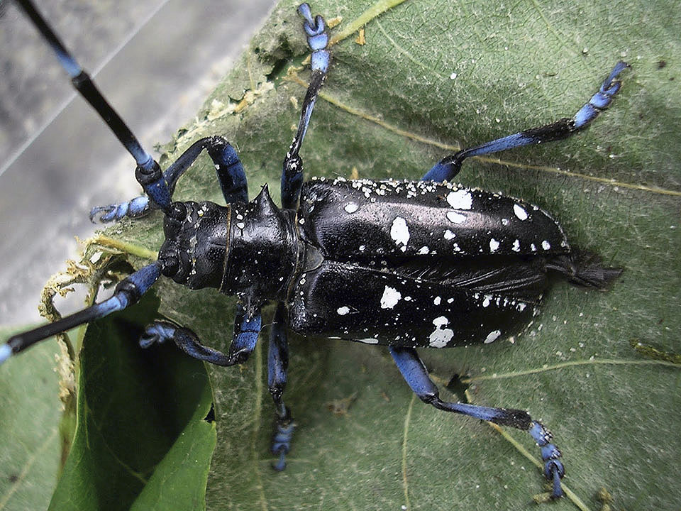 The Asian longhorn beetle kills trees over time when it burrows into them to lay eggs and leech off the trees' nutrients.  Photo courtesy of the USDA.