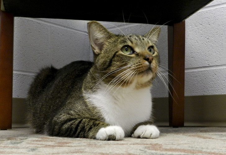 Peanut, a 1-year-old American shorthair, listens to the hustle and bustle at the Shenandoah County Animal Shelter from a cozy spot. Rachel Mahoney/Daily