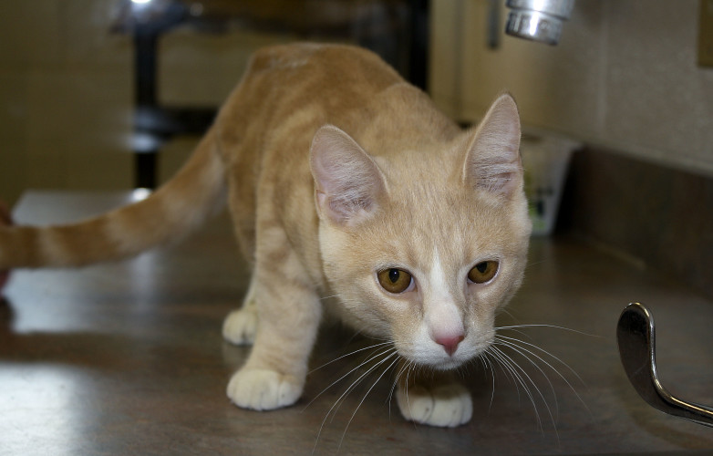 Caesar, a 5-month-old domestic shorthair kitten, is available for adoption at the Humane Society of Warren County in Front Royal.  Brad Fauber/Daily