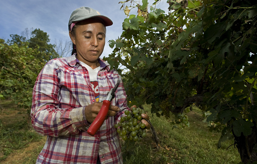 Angelica Castro picks grüner veltliner grapes at North Mountain Vineyard in Maurertown on Thursday. Most area vineyards have started picking grapes for wine production.   Rich Cooley/Daily