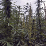 Male and female hemp plants are shown, Courtesy photo