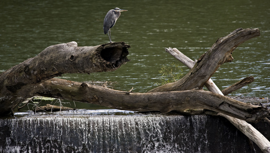 A blue heron sits on a log at Burnshire Dam east of Woodstock on a recent fall afternoon. Rich Cooley/Daily