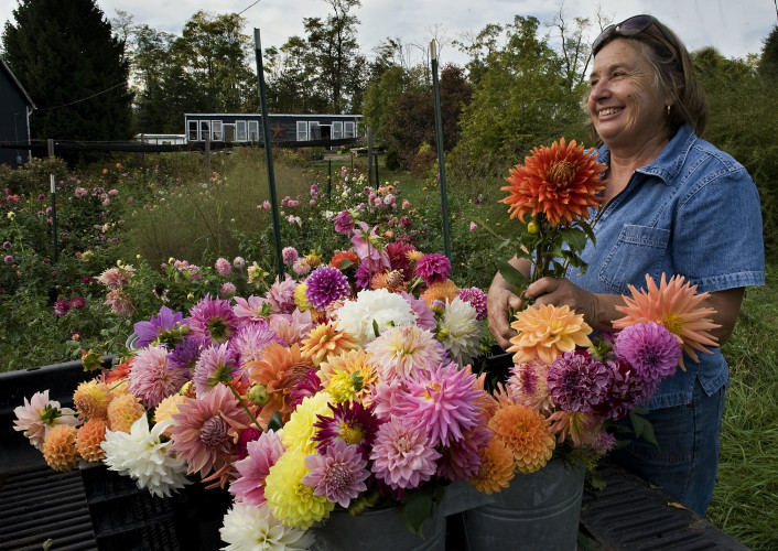 Rhonda Stevenson, of Toms Brook, loads a mass of dahlias into the bed of her utility vehicle outside her home on Thursday. Stevenson, who has over 80 varieties of the flowers, will sell the cut flowers at McLean and Falls Church  farmers markets this weekend.  Rich Cooley/Daily