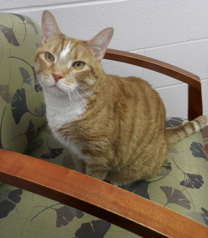 Baby Huey, a 4-year-old orange cat, is looking for an affectionate home.  Kaley Toy/Daily