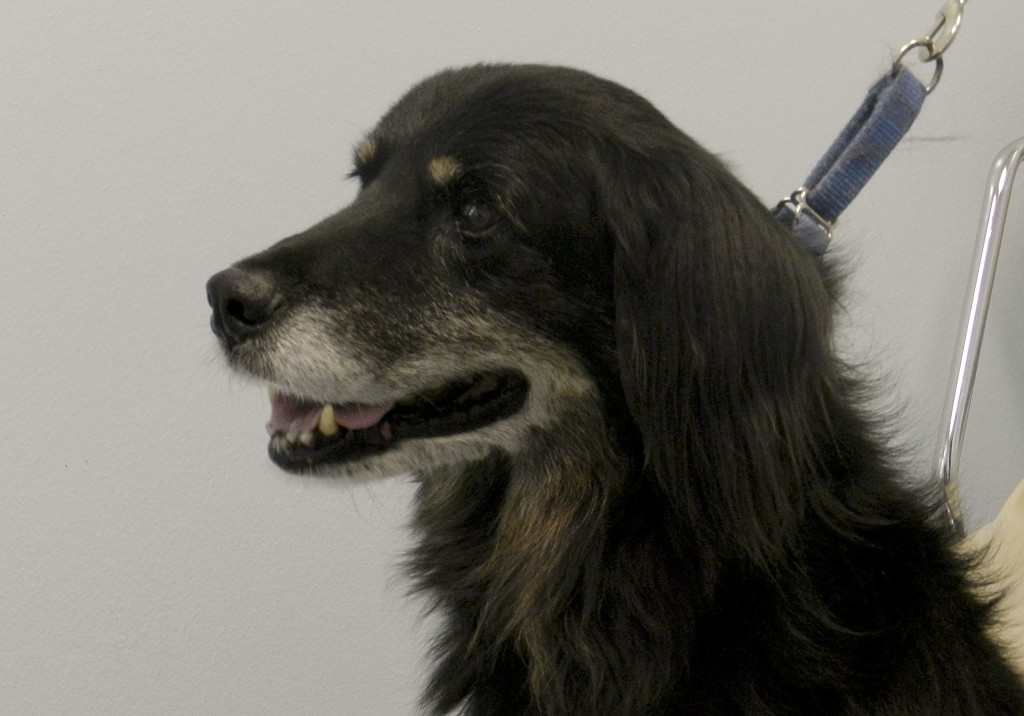 Frank, a  retriever-setter mix, is looking for a new home. Nathan Budryk/Daily