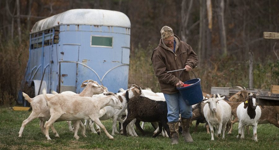 Jim Hepner, owner of Fairview Oaks Farm in Maurertown, feeds goats on his farm Wednesday evening. Many area laborers are able to take a day off from work, but farmers must tend to business.  Rich Cooley/Daily