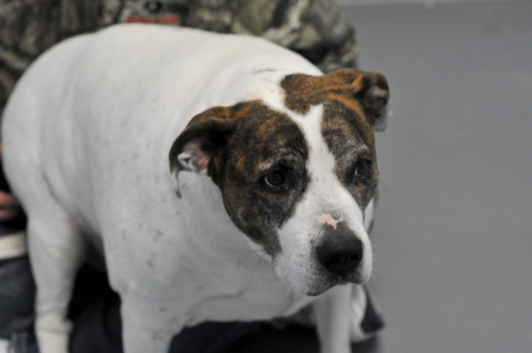 This is Rosie, a 9-year-old American pitbull mix . Jake Zuckerman/Daily