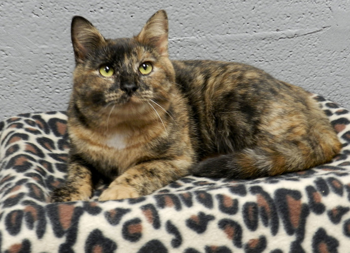 Toffee, a 1-year-old tortie shorhair cat is looking for attention at the Shenandoah County Animal Shelter. Kaley Toy/Daily