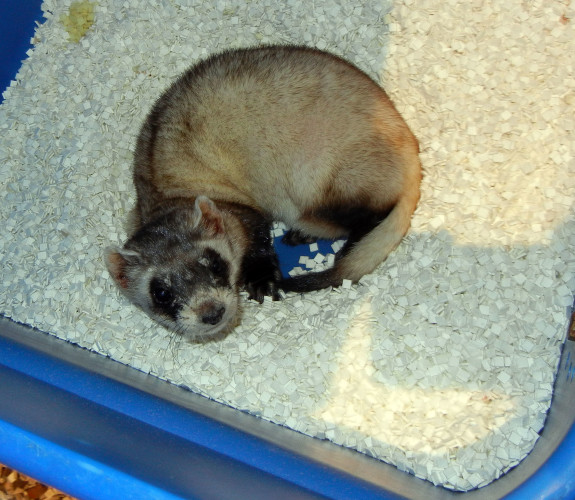Capone, a 7-year-old black-footed ferret who lived at the Smithsonian Conservation Biology Institute in Front Royal, was euthanized last week  after his old age led to health problems.  Courtesy photo – SCBI