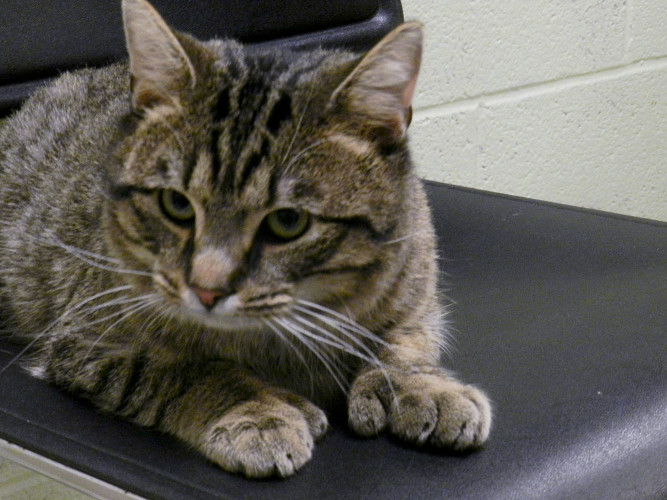 Hershel, a 2- to-3-year-old male tabby, is seeking a new home. He can be found at the Humane Society of Warren County in Front Royal. Nathan Budryk/Daily