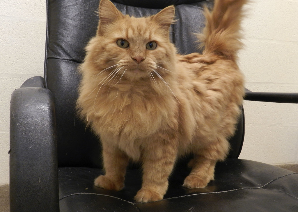 Simba, an 11-year-old domestic longhair orange cat, is looking for a loving retirement home. Kaley Toy/Daily