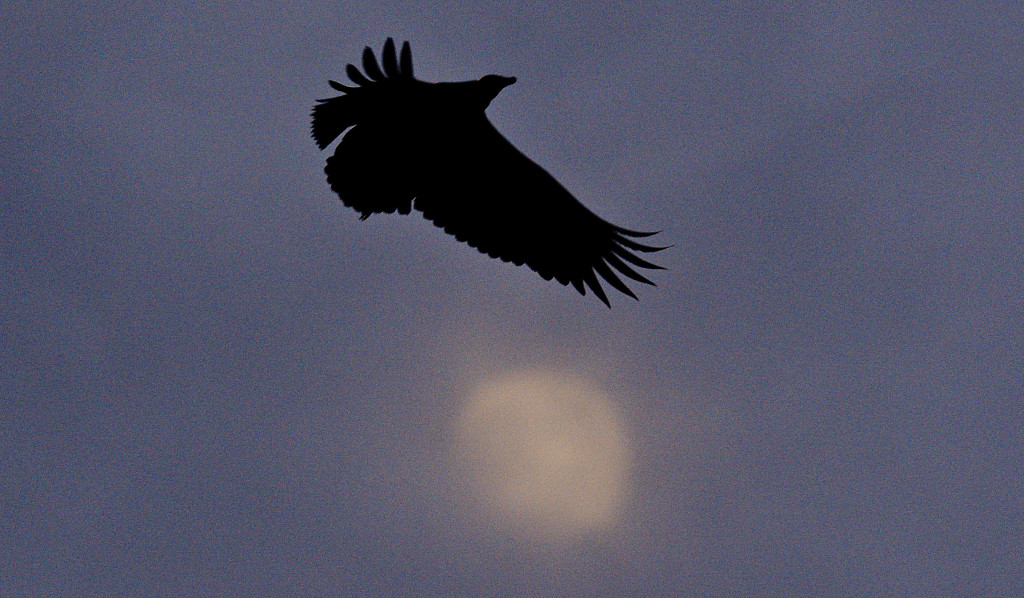 A vulture circles Strasburg's water tank on Banks Fort Road recently.  Rich Cooley/Daily