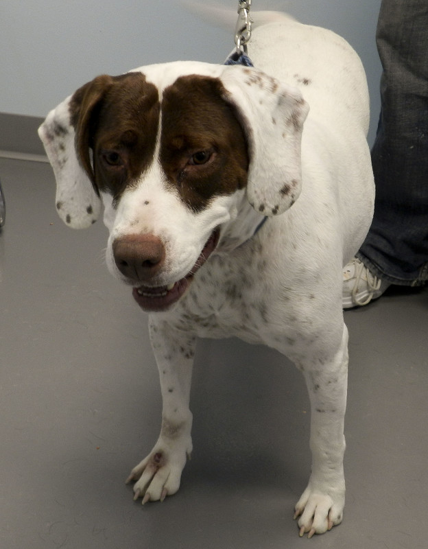 Sunshine, a 6-year-old pointer mix, seeks a loving home. Kaley Toy/Daily