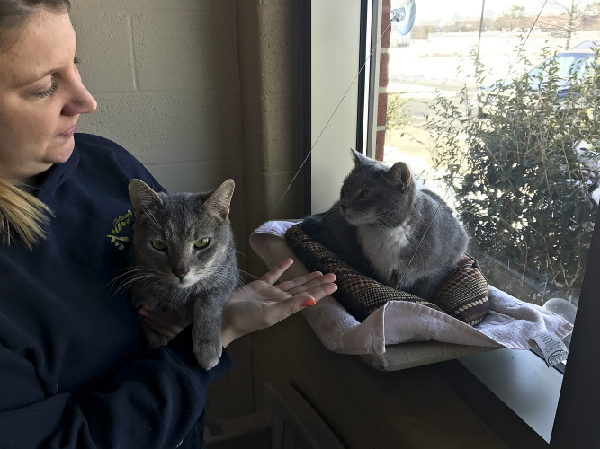 Dana and Audrey, 2-year-old feline siblings, are available for adoption as a bonded pair at the Frederick County Esther Boyd Animal Shelter in Winchester.   Brad Fauber/Daily