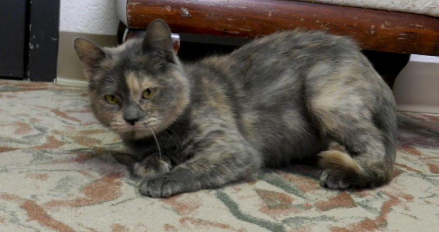 Taffy, a lovable diluted calico cat at the Shenandoah County Animal Shelter, is looking for a new   home. Kaley Toy/Daily