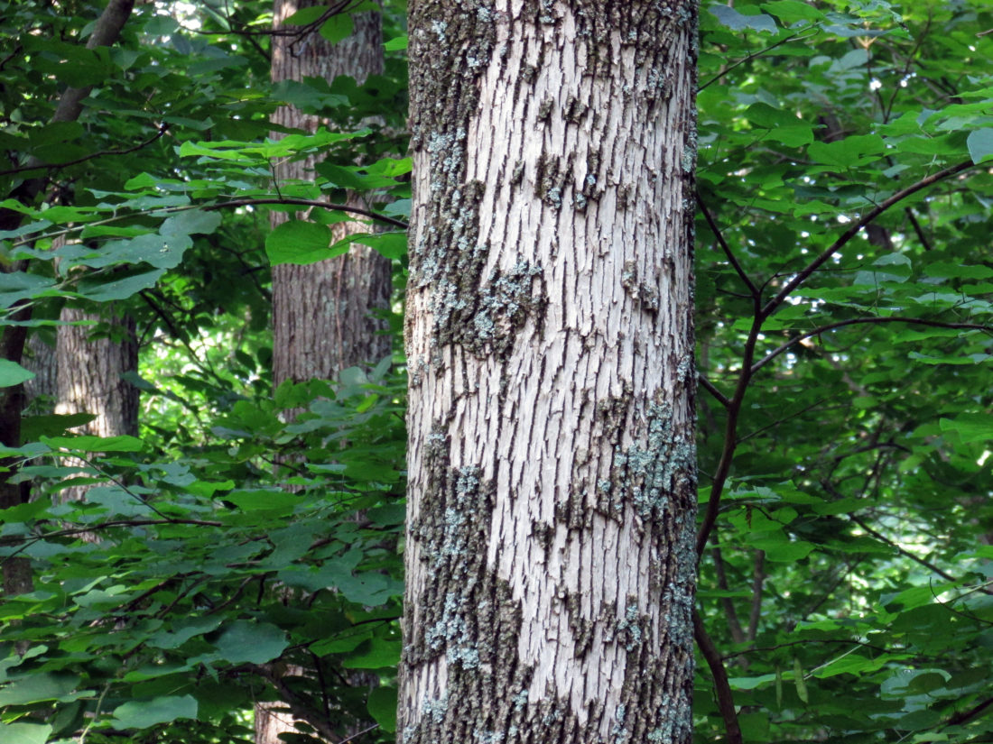 George Bowers Sr.: Insight from our dying ash trees | News, Sports ...