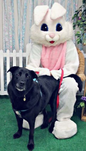 """Submitted Photo Above: Precious, a 10-year-old lab mix who was recently adopted from the Lakeshore Humane Society, poses with the Easter Bunny (Rich Carpenter) at the shelter's recent """"Picture your pet with the Easter Bunny"""" fundraiser. LHS would like to thank everyone who attends events, donates items and money, and volunteers at the shelter and annual fundraisers."""