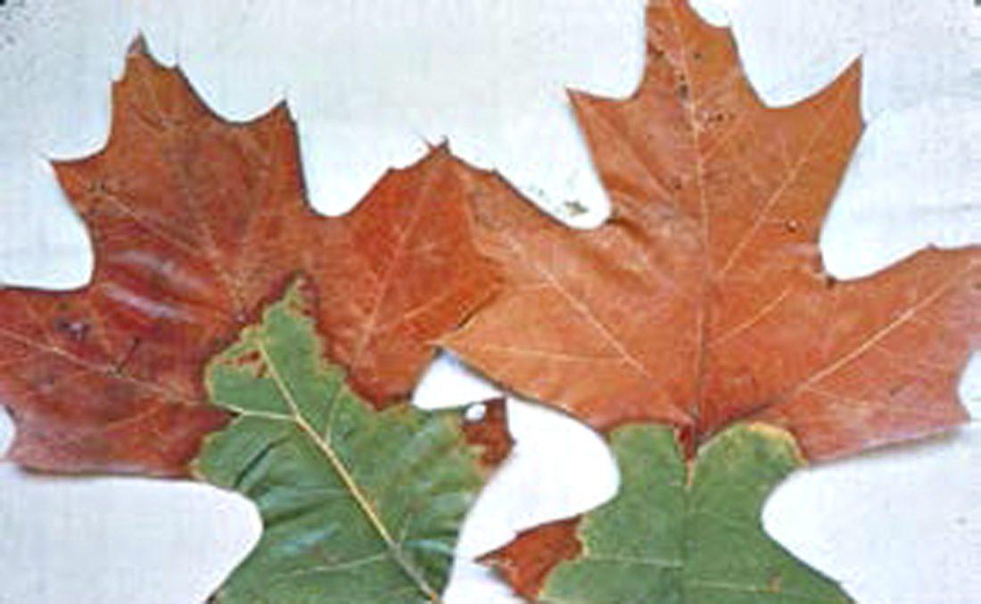 oak wilt leaves 2