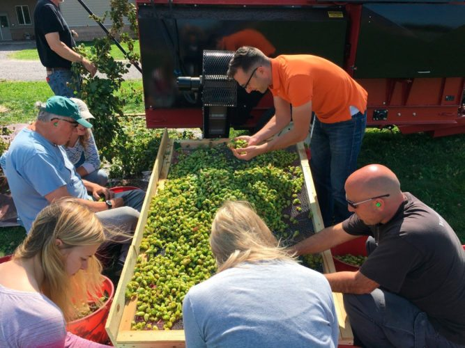 Submitted Photos Above, fresh hops destined for an Ellicottville Brewing Company harvest ale get the final sorting by members of EBC, the Lake Erie Regional Grape Program and community volunteers.