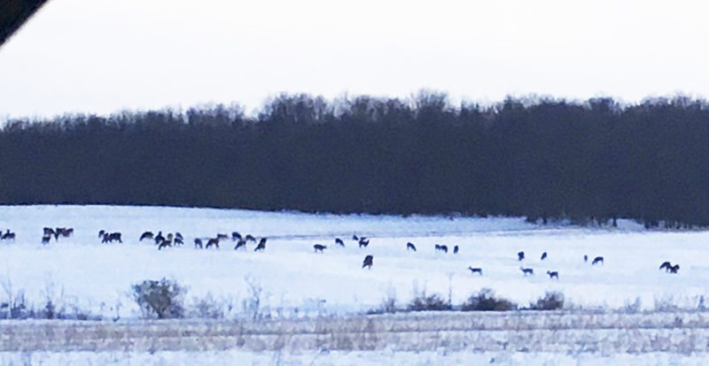 This photo was taken about 6 p.m. Tuesday on the corner of Fredonia-Stockton and Webster roads. There were over 100 deer in the field belonging to Bill Lesch across from BOCES. They are there most nights but not usually this many.