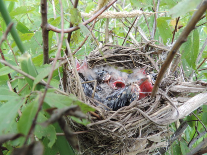 Red-Winged Blackbird nest with nestlings. Submitted photos