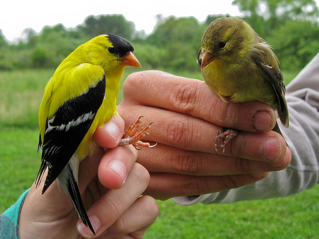 Audubon Community Nature Center is participating again this summer in a continent-wide bird study, giving you several opportunities to observe this fascinating bird banding. After being fitted with an identification band, measured, and weighed, birds like these American Goldfinches will be released back to the wild.