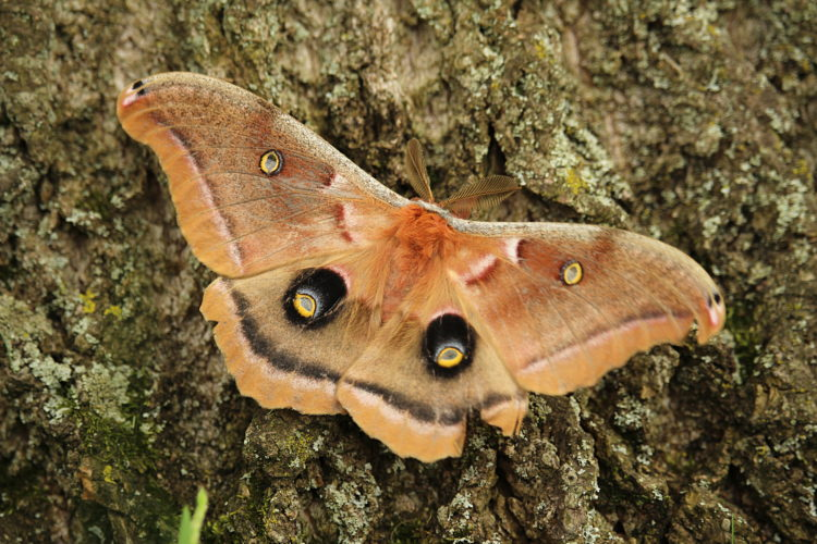 Though it hatched from an egg last spring, this Polyphemus Moth will live only a short time as an adult.  Photo by Jeff Tome