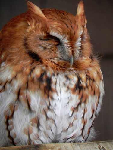 Screech Owls come in both gray and red (rufous) phases. They make a noise similar to a horse whinny.