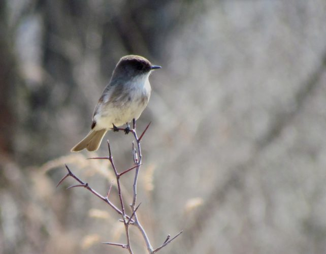 An Eastern Phoebe, a close relative of the Alder Flycatcher.