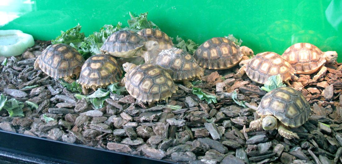 Turtles you can find at Small Town Pets, located at 176 Fairmount Ave., Lakewood. The new business caters to pet lovers who are looking for a more exotic animal.  P-J photo by A.J. Rao