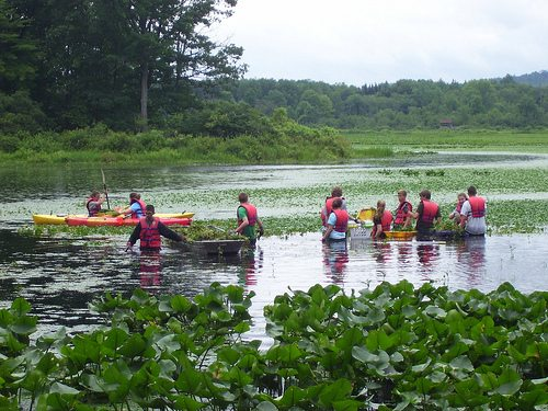Recently Western New York PRISM (Partnership for Regional Invasive Species Management) staff helped Audubon Community Nature Center near its long-sought goal of removing all the invasive European water chestnut from its waters. PRISM staff are pictured in waders pulling water chestnut from Audubon's Big Pond.