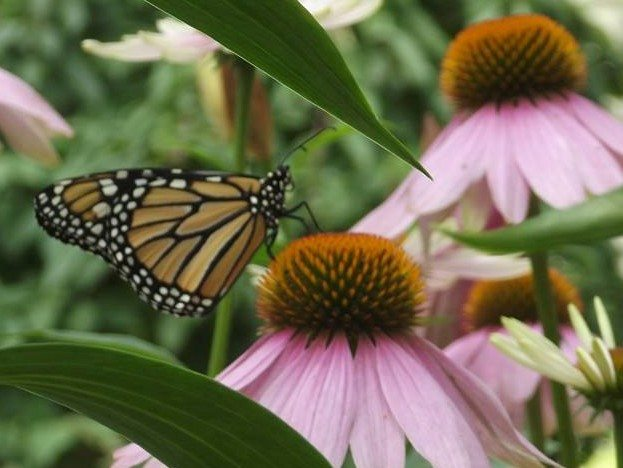 With a supply of milkweed close by, the Monarchs return to the garden. Photo by Dawn Krotz