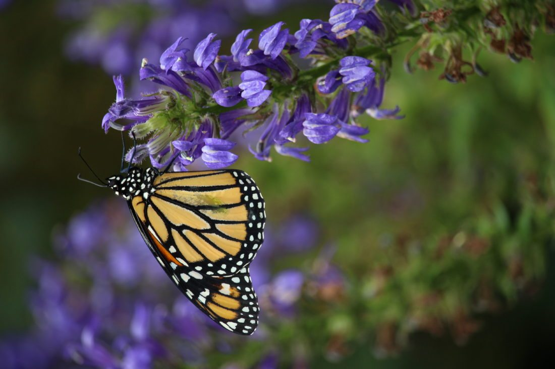 A monarch butterfly.  Photo by Jeff Tome