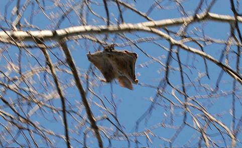 While flying squirrels cannot truly fly, they are more than graceful fallers that let gravity do their work for them.  Photo courtesy of Wikipedia, Angie Spuc