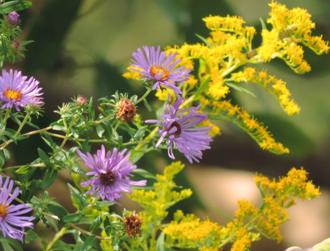 Purple asters and yellow goldenrod.  Photo by Katie Finch