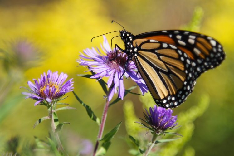 Monarch butterfly on purple aster with yellow sea of goldenrod in the background.  Photo by Jennifer Schlick