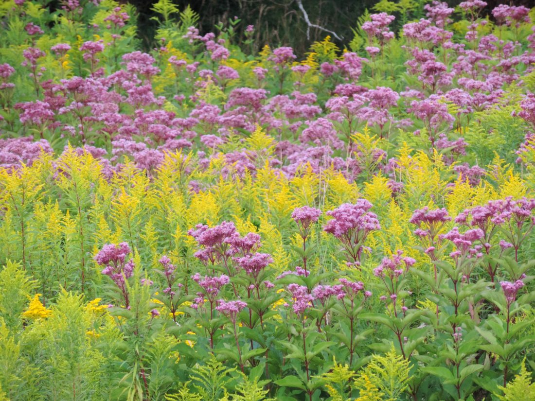 Goldenrod and Joe Pye Weed on Route 60.  Photo by Katie Finch