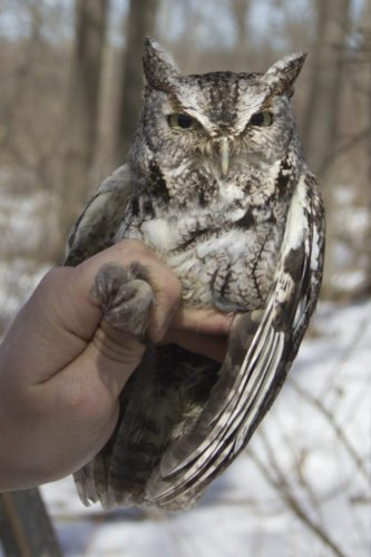 An Eastern Screech Owl is pictured.