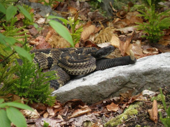 Seeing a Timber Rattlesnake is an experience that is like no other, but many people go a lifetime without seeing one.  Photo by Don Watts