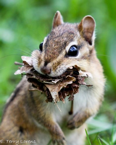 Chipmunks also carry leaves into their underground tunnels to use as nesting material.  Photo by Terry Lorenc