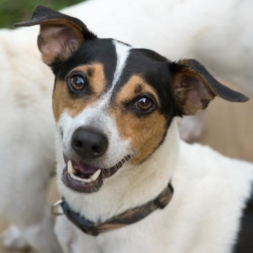 The Northern Chautauqua Canine Rescue Dog of the Week is Guru, a neutered male Jack Russell terrier. At 7 years old, he's middle aged in dog years. Guru has been paired with other dogs his size, loves human companionship and would probably make a cuddly couch potato or an active walking partner. He has great house manners. The shelter is located at 7540 N. Gale St., Westfield, and is open from 1 to 3 p.m. Monday through Saturday or by appointment by calling 326-7297. Many of the dogs can be seen online at www.caninerescue.org. October is Adopt A Shelter Dog month. The shelter will host an open house Saturday, Oct. 21, from noon to 3 p.m.