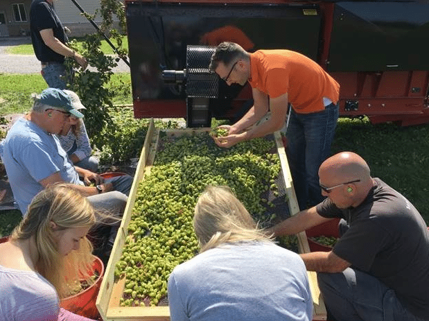 fresh hops destined for an Ellicottville Brewing Company harvest ale get the final sorting by members of EBC, the Lake Erie Regional Grape Program and community volunteers.