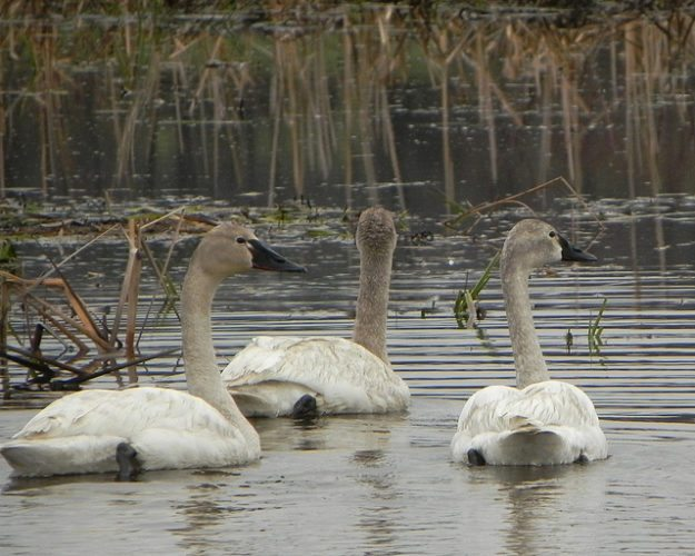 Chautauqua Lake, identified as an Important Bird Area by the National Audubon Society, is a refuge for tundra swans on their migration route.  Photo by Jeff Tome