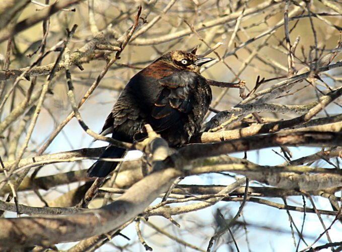 Rusty Blackbirds are disappearing and scientists do not know why. Photos by Jeff Tome