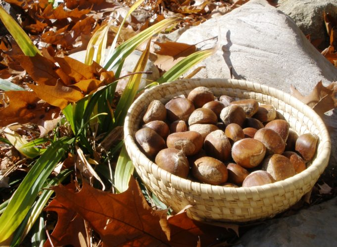 Chestnuts are a delicious addition to your Thanksgiving meal and a reminder of our natural heritage.