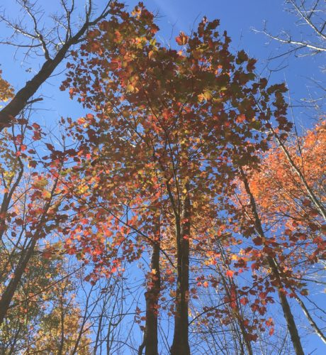 The golden yellows and rich reds of fall leaves bless human viewers with a breath-taking symphony of color, hue, and texture, but for the trees, it's all about timing and preparation for the challenges to come.  Photo by Becky Nystrom