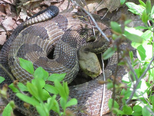 Rick Rupprecht, Outdoorsman and retired Jamestown Community College professor, will talk about Pennsylvania timber rattlesnakes at the Audubon Community Nature Center's First Friday Lunch Bunch on Friday.