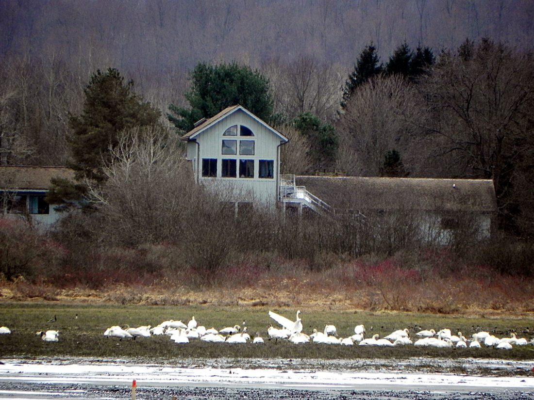 Tundra Swans are one of many birds that migrate through the area in late fall as they move from their nesting grounds on the Arctic tundra to their wintering grounds on the Atlantic coast.  Photos by Jeff Tome