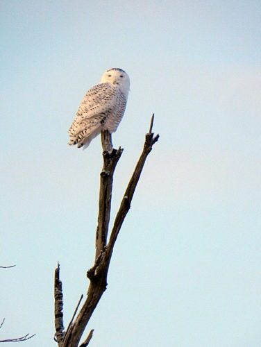 Snowy Owls are moving into the area because the population of their food in the north has crashed.